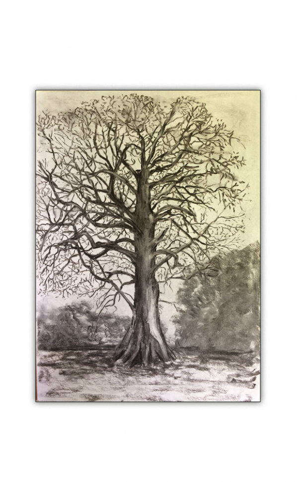 Spanish Chestnut Tree Charcoal Drawing